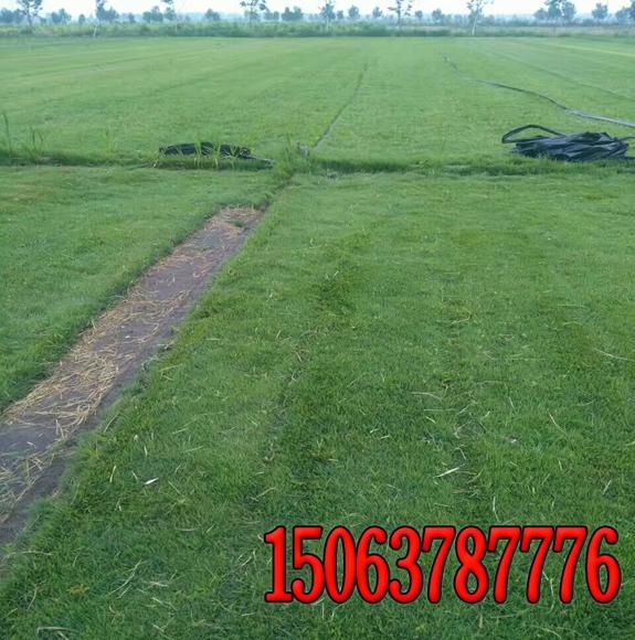 绿化的草籽和草种